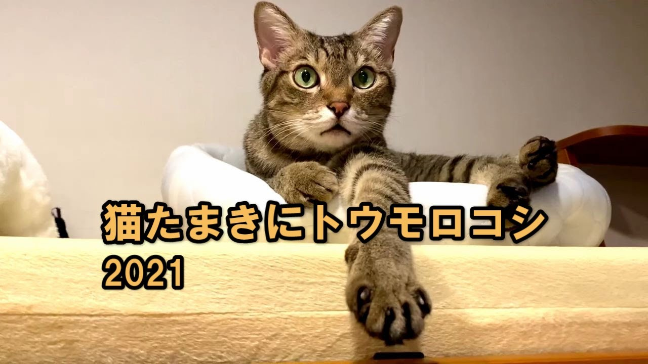 猫たまきにトウモロコシ2021
