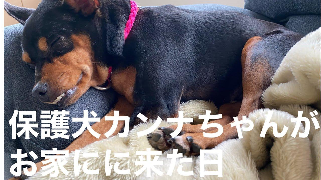 保護犬カンナちゃんがお家に来た日‼️【預かりブログ】【ミニピン】