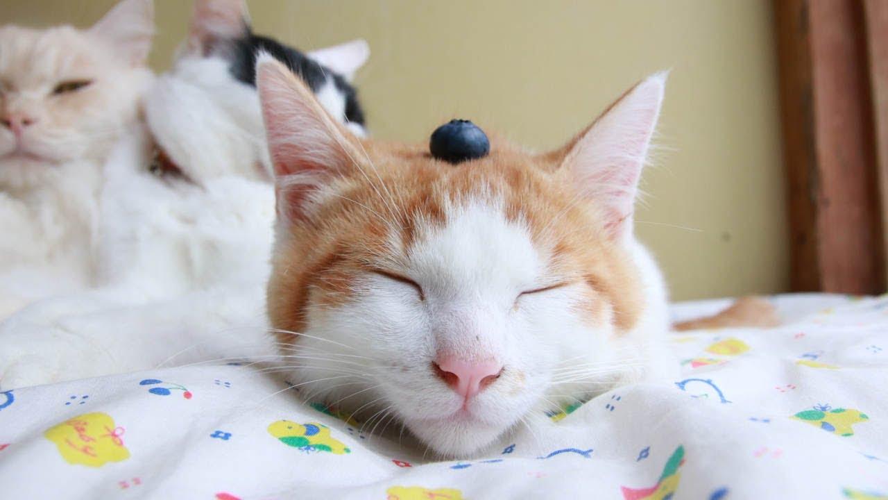 ブルーベリーをのせた猫たち 210821